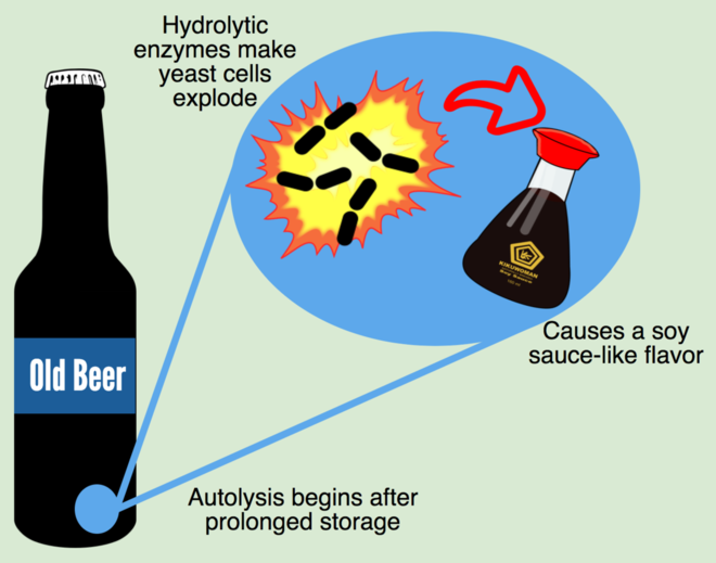 Autolysis in Beer
